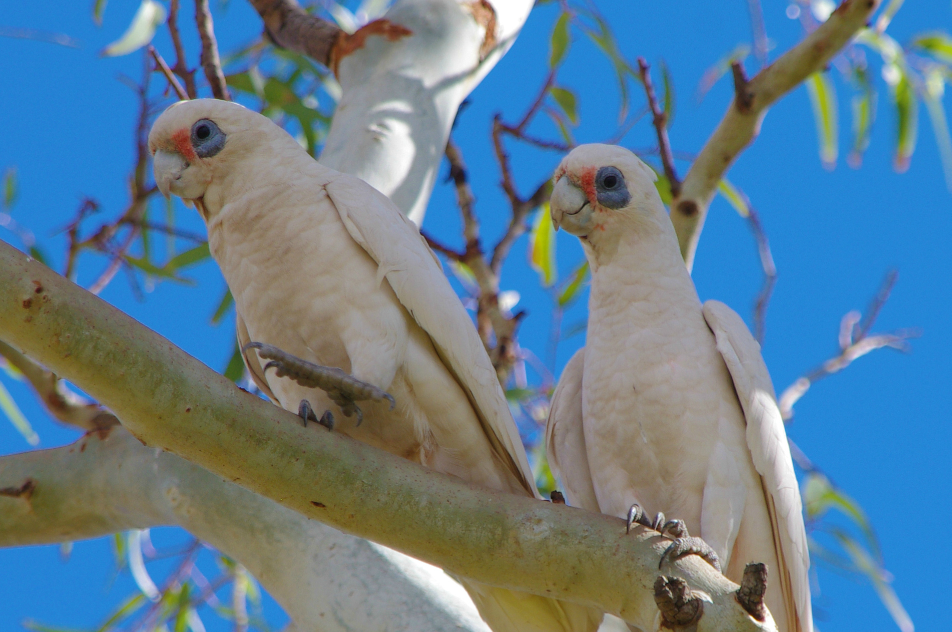 Community doubles down to manage Corellas