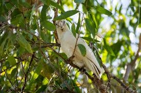 Corella Bird